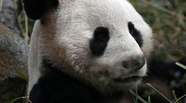 The China Conservation and Research Centre said two panda cubs born in south-west China are the first to be born in the world this year