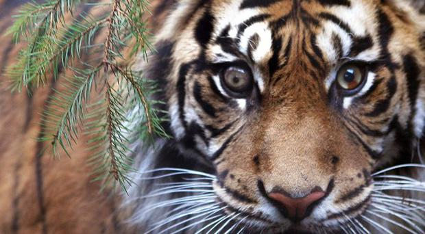 Sumatran tigers are a critically endangered species