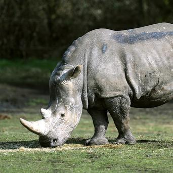 Rhino horn has become more valuable by weight than gold, cocaine or heroin, amid rising demand from Asian countries