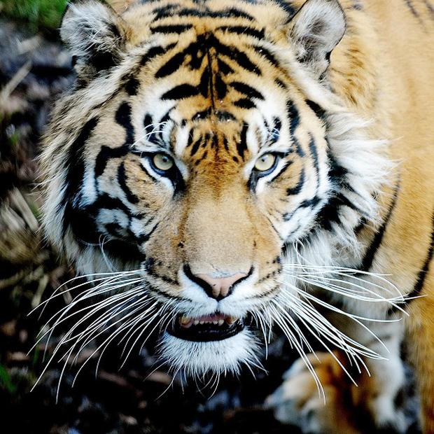 There are thought to be fewer than 2,500 tigers left in the wild in India, Bangladesh, Nepal, Bhutan, China and Burma