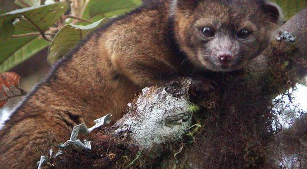 The Olinguito has been named as a new species
