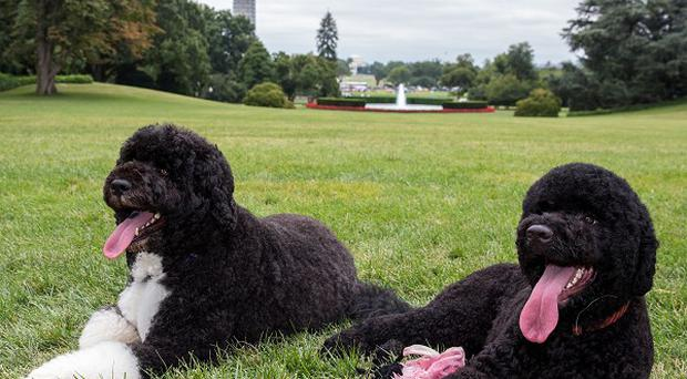 Bo and Sunny, the Obama family dogs, on the South Lawn of the White House (AP)