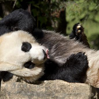 Mei Xiang, a giant female panda at the National Zoo in Washington has given birth to her third cub (AP)