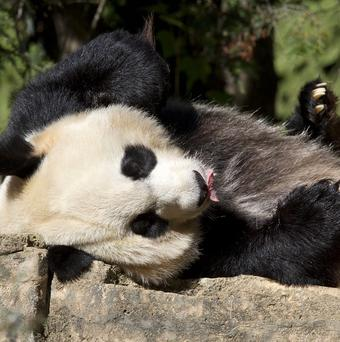 Mei Xiang, the giant female panda who gave birth to a cub at the Smithsonian's National Zoo in Washington DC (AP)