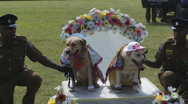 Sri Lankan policemen hold a pair of sniffer dogs as they hold a wedding ceremony of nine pairs of police dogs (AP)