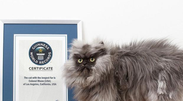 Colonel Meow has earned his place in the new Guinness World Records 2014 for having the longest fur on a cat (Guinness World Records/PA)