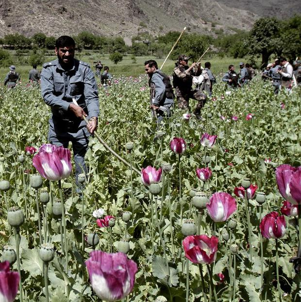 Afghanistan's opium production surged to record levels this year, the UN says