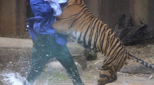 A tiger leaps on Australia Zoo handler Dave Styles before he was rescued by fellow workers. (APJohanna Schehl)