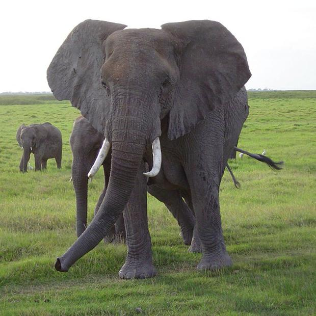 African elephants are facing slaughter by poachers