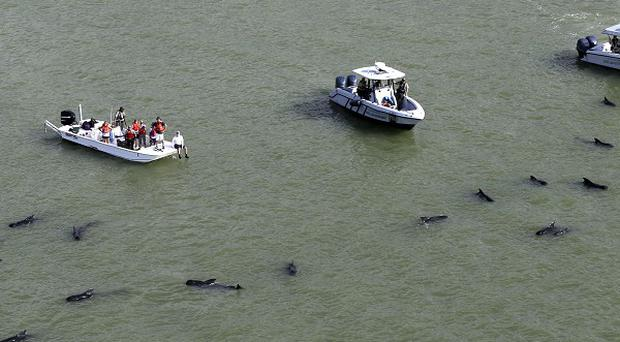Dozens of pilot whales are stranded in shallow water in a remote area of Florida's Everglades National Park (AP)