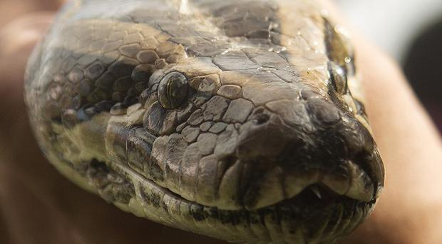 A security guard was strangled to death by a python.