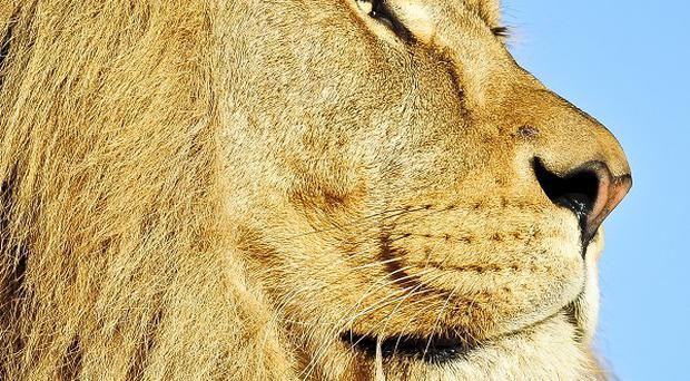 The death of an African lion at an Indonesian zoo is being investigated.