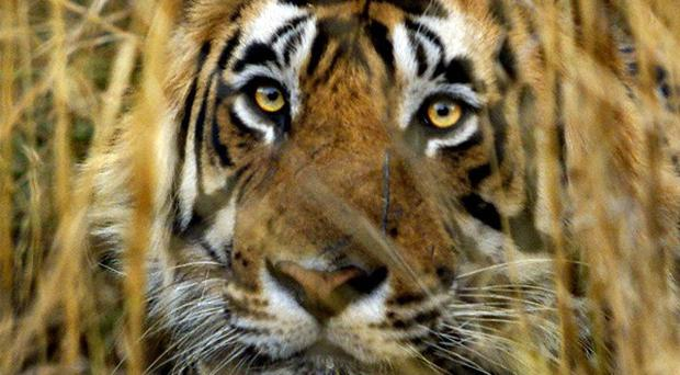 A tiger prowling for food has killed seven people in northern India in the past two weeks