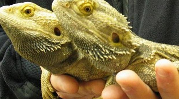 Hundreds of reptiles, including lizards, were found at the airport