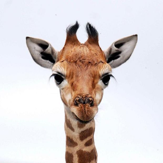 There are concerns about inbreeding among captive giraffe populations