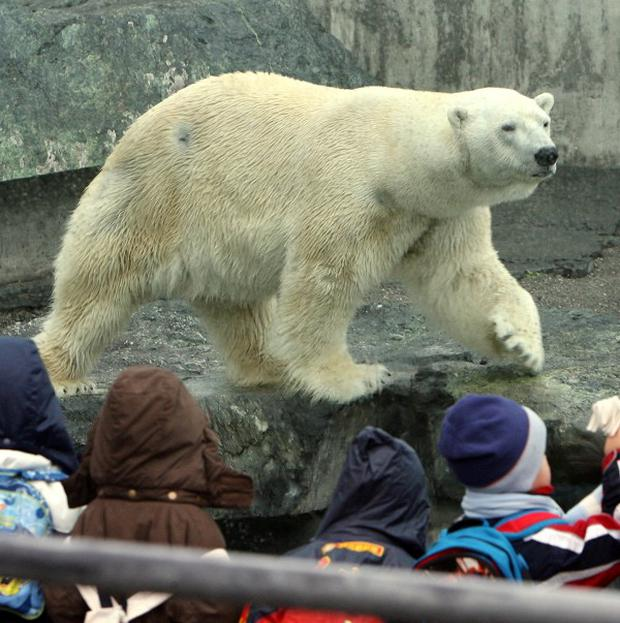 Polar bear Anton in the enclosure of the zoo (AP/dpa, Bernd Weibrod)