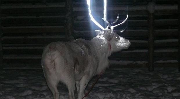 A reindeer after a test in which Finnish herders dabbed it with fluorescent paint (AP/Anne Ollila, executive director of the Reindeer Herders' Association, Finland/Lehtikuva)