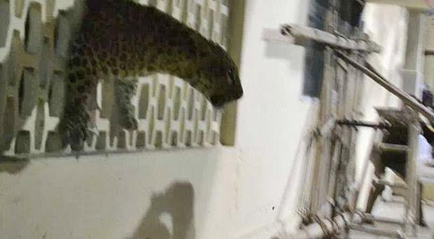 The leopard was spotted at a hospital in the city of Meerut (AP Photo)
