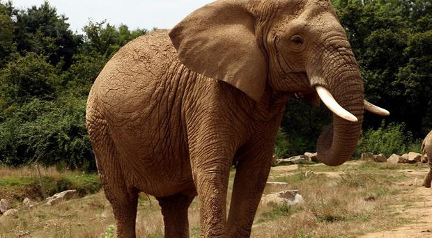The elephants that escaped from the circus are now safely back in their compound