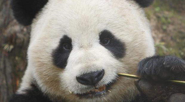 The pandas are in quarantine before they move into their new habitats