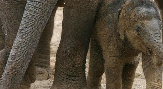 Baby elephants have been among those killed by poachers in Africa