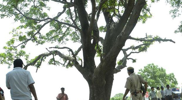The tree where two teenage girls were found hanging after they were gang raped in Katra village in the northern Indian state of Uttar Pradesh (AP)