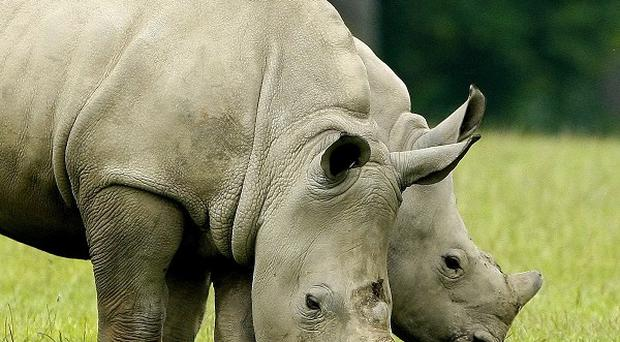 Poachers have been targeting rhinos at Kruger Park