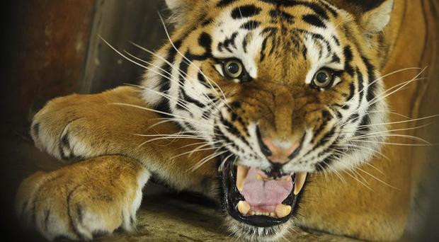 The woman was snatched by a tiger