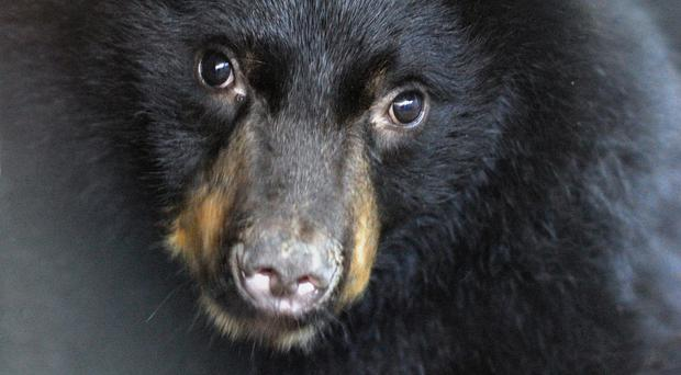 A black bear is believed to have attacked and killed a hiker in the US
