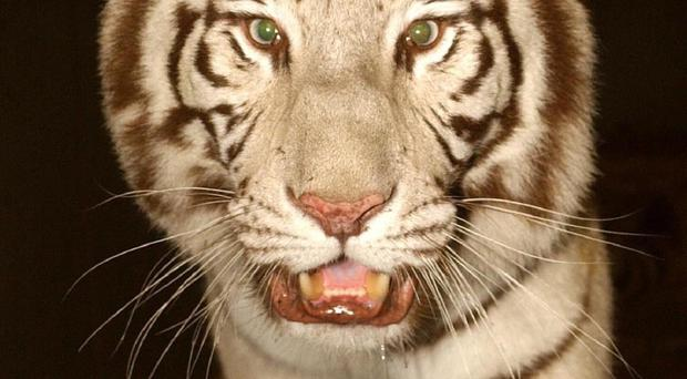 The white tiger attacked the man after he climbed into its enclosure