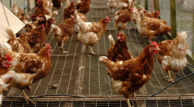 28,000 birds are being slaughtered at a farm in the Netherlands after officials discovered the presence of bird flu