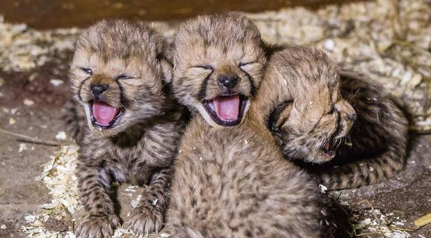 Three newly born cheetahs at a zoo in Prague (AP/Prague Zoo)