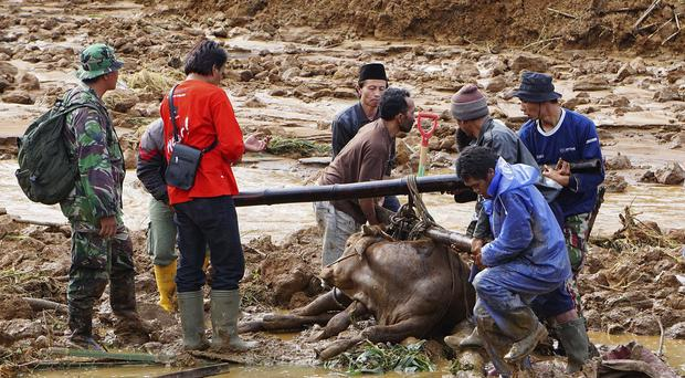Rescuers help to evacuate a cow after a village was swept away by landslides in Jemblung, Central Java, Indonesia (AP)