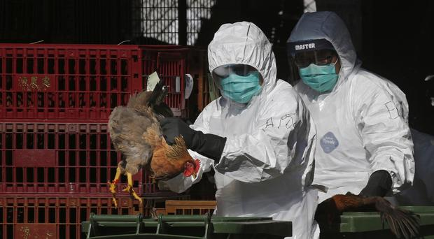 Health workers in full protective gear place a live chicken in a rubbish bin as they start culling chickens (AP)