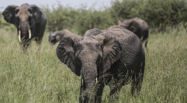 The Dallas Safari Club plans to auction off a trip to Africa to shoot elephants (AP)