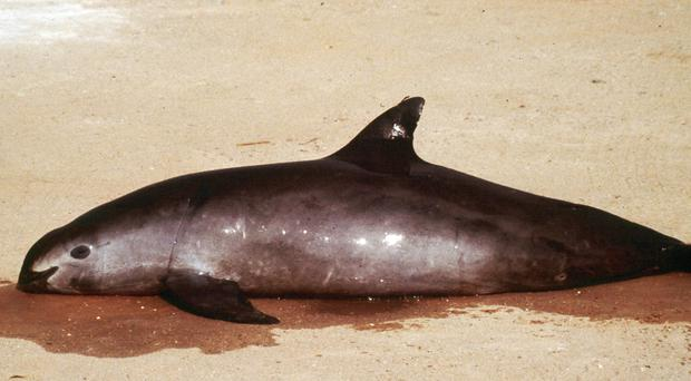 A female vaquita marina porpoise lies dead after getting entangled in a gillnet in the upper Gulf of California (AP/Omar Vidal, Proyecto Vaquita)