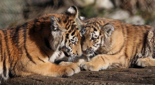 The census carried out in 2014 counted at least 2,226 tigers in forests across India - around 500 more than were counted four years ago