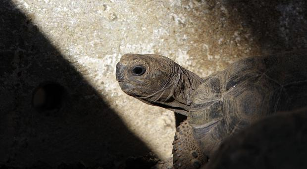 Pinzon giant tortoises have been born in the wild for the first time in about 100 years (AP)