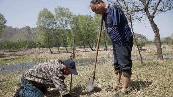 Jia Haixia, left, and Jia Wenqi work to plant a tree in a field in Yeli village near Shijiazhuang city in northern China's Hebei province (AP)