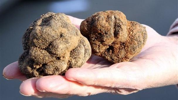 Truffles sell for up to 1,000 dollars per kilogram (AP)