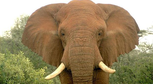 Poaching has reduced elephant numbers in Mozambique by 50%, according to conservationists