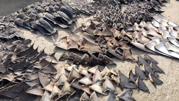 Hundreds of shark fins seized by the police in Manta, Ecuador (AP/Fiscalia General del Ecuador)