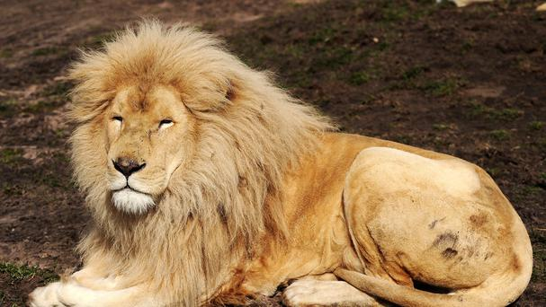 An American woman has been killed in a lion attack in South Africa, according to reports.