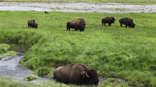 Bison graze near a stream in Yellowstone National Park in Wyoming (AP)