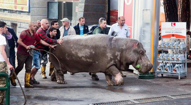 People help a hippopotamus after it escaped from a flooded zoo in Tbilisi, Georgia