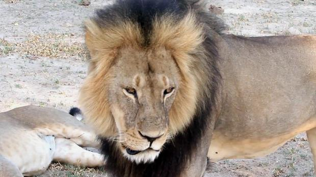 Cecil pictured in Hwange National Park in 2012 (Paula French/AP)