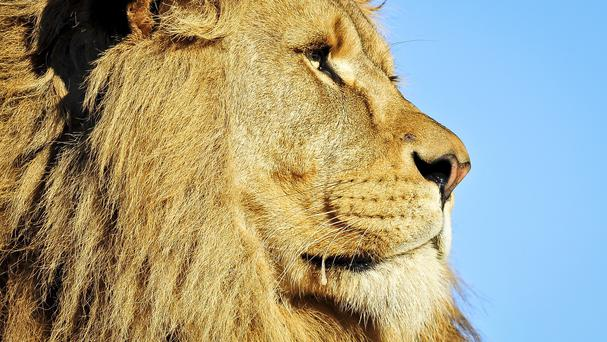 A second lion was hunted and killed illegally in Zimbabwe, officials say