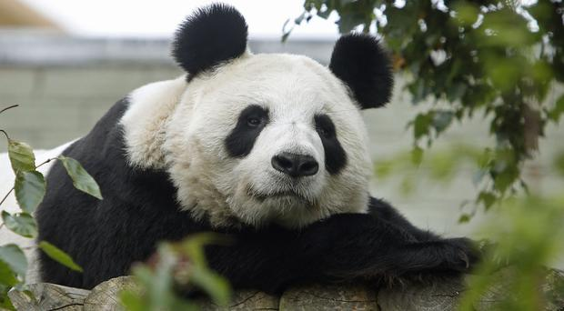 Giant panda Tian Tian is the boy's father