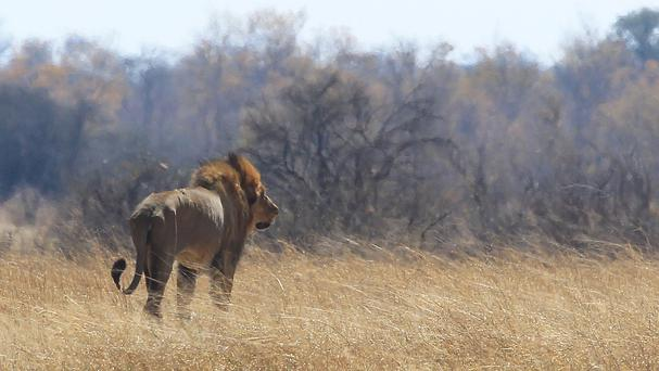 A lion named Tommy walks through scorched grass towards shade near the spot Cecil the lion was lured onto a farm in an alleged illegal hunt in Hwange about 700 kilometres south west of Harare (AP)