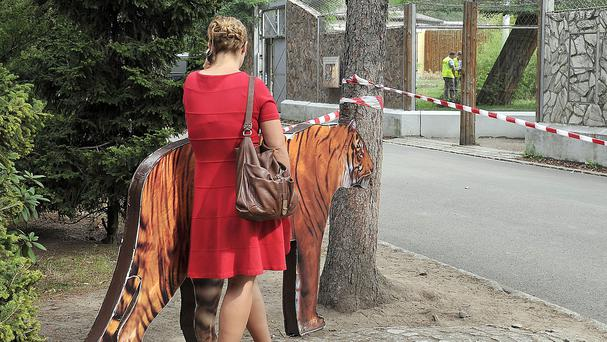 A reporter stands facing the Sumatran tigers run where a tiger fatally wounded a keeper in Wroclaw, Poland. (AP)